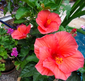 Red hibiscus has a siren song